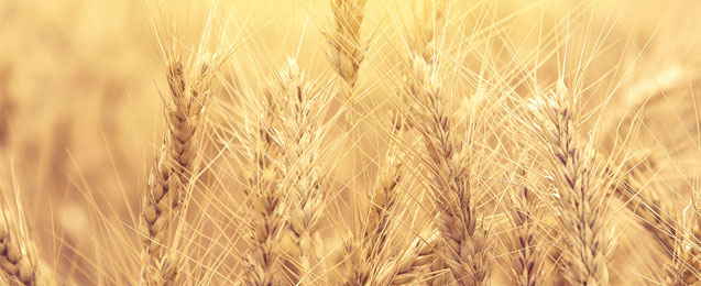 Wheat grain, the basis of the Oldesloer grain brand